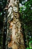 Agujeros de la pulsación de corriente en árbol de abedul viejo en bosque del verano Imagen de archivo