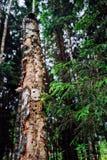 Agujeros de la pulsación de corriente hechos en árbol de abedul viejo en bosque del verano Fotografía de archivo