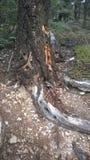 Agujeros de madera del picoteador del árbol de la montaña del túnel de Banff Foto de archivo
