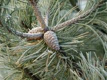 Agulhas, cone do pinho, geada Imagem de Stock