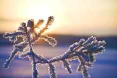 Agulhas congeladas Fotos de Stock Royalty Free