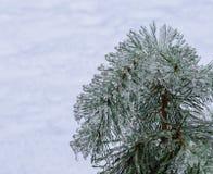 Agulhas congeladas do pinho no branco Fotografia de Stock