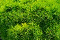 Agulhas da árvore de abeto do pinho como o fundo verde Filiais de árvore do Natal Floresta sempre-verde ou madeira Natureza e amb Imagem de Stock