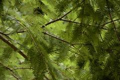 Agulhas da sequoia vermelha Fotografia de Stock Royalty Free