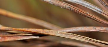 Agulhas de Brown do fundo inoperante da árvore de pinho Fotografia de Stock Royalty Free