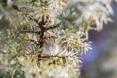 Agulhas do arbusto do zimbro Imagem de Stock