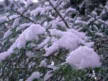 Agulhas do pinho cobertas com a neve Fotografia de Stock