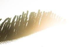 Agulhas do pinho de Norfolk Imagens de Stock Royalty Free