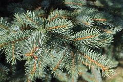 Agulhas em um ramo de uma árvore Spruce Imagens de Stock Royalty Free