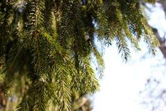 Agulhas spruce brilhantes em uma manhã Foto de Stock Royalty Free