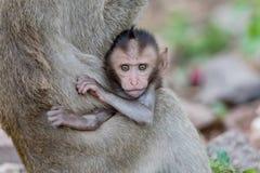 agung δασικός Ινδονησία μωρών του Μπαλί dalem ιερός ναός pura πιθήκων padangtegal ubud Στοκ Φωτογραφίες