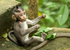 agung δασικός Ινδονησία μωρών του Μπαλί dalem ιερός ναός pura πιθήκων padangtegal ubud Στοκ εικόνα με δικαίωμα ελεύθερης χρήσης