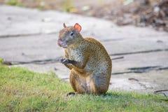 Aguti del Agouti o roditore di Sereque che si siede sull'erba che tiene un certo alimento in zampe Roditori dei Caraibi Immagini Stock