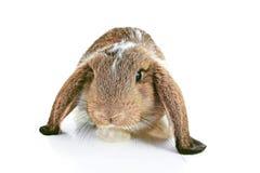Aguti królik lop na odosobnionym białym pracownianym tle NHD dziecka młody królik Śliczny lop słyszącego zwierzę domowe królika Z Zdjęcia Stock