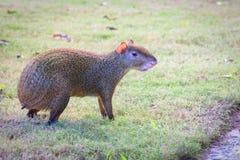 Aguti aguti lub Sereque ślepuszonka na zielonej trawie Ślepuszonki Karaiby Zdjęcie Stock