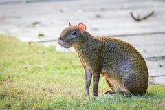 Aguti aguti lub Sereque ślepuszonka obsiadanie na trawie Ślepuszonki Karaiby kosmos kopii Fotografia Royalty Free