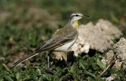 Aguzanieves amarillo Imagenes de archivo