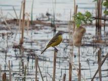 Aguzanieves amarillo cerca del agua Minsk, Bielorrusia fotos de archivo