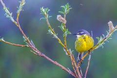 Aguzanieves amarillo del este Fotografía de archivo
