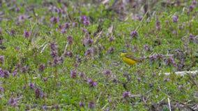 Aguzanieves amarillo en el prado entre las flores púrpuras imagen de archivo