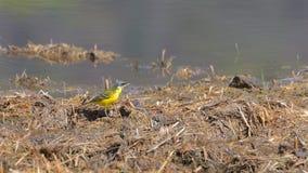 Aguzanieves amarillo en el primero plano en el césped seco imágenes de archivo libres de regalías