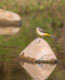 Aguzanieves amarillo en un río Imagenes de archivo