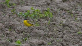 Aguzanieves amarillo puesto en el campo arado en abril imagen de archivo