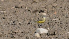 Aguzanieves amarillo que camina en la arena fotografía de archivo libre de regalías