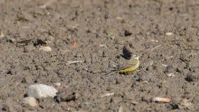 Aguzanieves amarillo que camina en la arena imagen de archivo libre de regalías