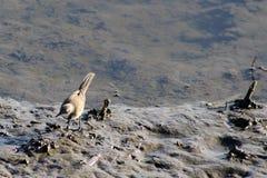 Aguzanieves del cabo Foto de archivo libre de regalías