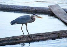 Aha, He caught a fish!. Great Blue Heron holds a freshly caught fish in its beak Royalty Free Stock Image