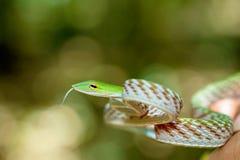 亚洲藤蛇(Ahaetulla prasina) 免版税库存照片