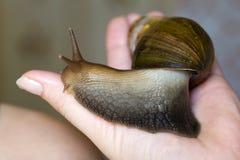 ahatina蜗牛 库存图片