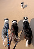 Ahead of the pack. Free dog walking ahead of dogs being leash walked on beach stock image