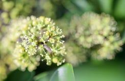 Ahefflera raliaceae Obraz Royalty Free