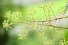 Ahefflera raliaceae Obrazy Stock