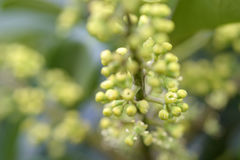 Ahefflera raliaceae Obraz Stock