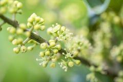 Ahefflera raliaceae Fotografia Stock