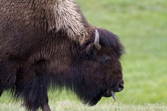 Ahh. Bison sticking it tongue out in Yellowstone National Park Royalty Free Stock Photo