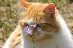 Ahhhh Spring. Yellow and white cat smelling a wildflower Stock Images