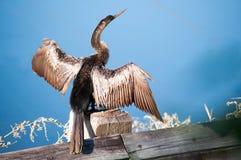 Ahinga Suszarniczy na drewno poręczu out Fotografia Royalty Free