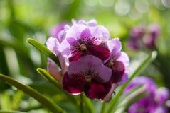 ahmad pięć lc orchidei sheikhi Zdjęcie Stock