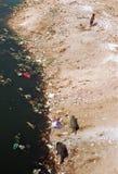Ahmedabad, India: Il bambino sta accanto alla riva del fiume mentre i maiali cercano attraverso l'immondizia immagine stock libera da diritti