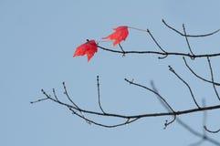 Ahorn Acer Stockbilder