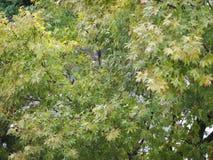 Ahorn Acer-Baumblätter Lizenzfreies Stockbild