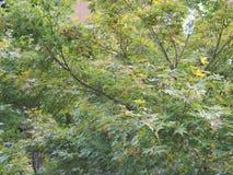 Ahorn Acer-Baumblätter Lizenzfreie Stockbilder