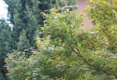 Ahorn Acer-Baumblätter Stockfotos