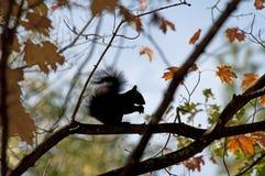 Ahorn Acer mit Eichhörnchen Lizenzfreies Stockbild
