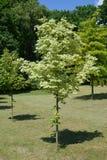 Ahorn acutifoliate Drummonda (Acer-platanoides Drummondii) Stockfoto