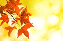 Ahorn auf gelbem Bokeh-Hintergrund Lizenzfreies Stockbild